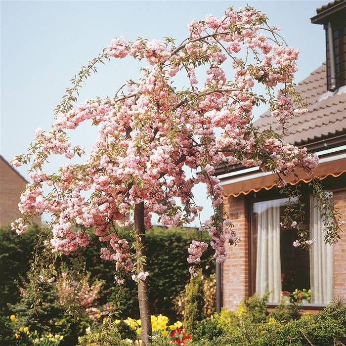 Prunus Kiku Shidare Zakura Japanse Treursierkers Tuin Ideeen Bolbloemen Tuin