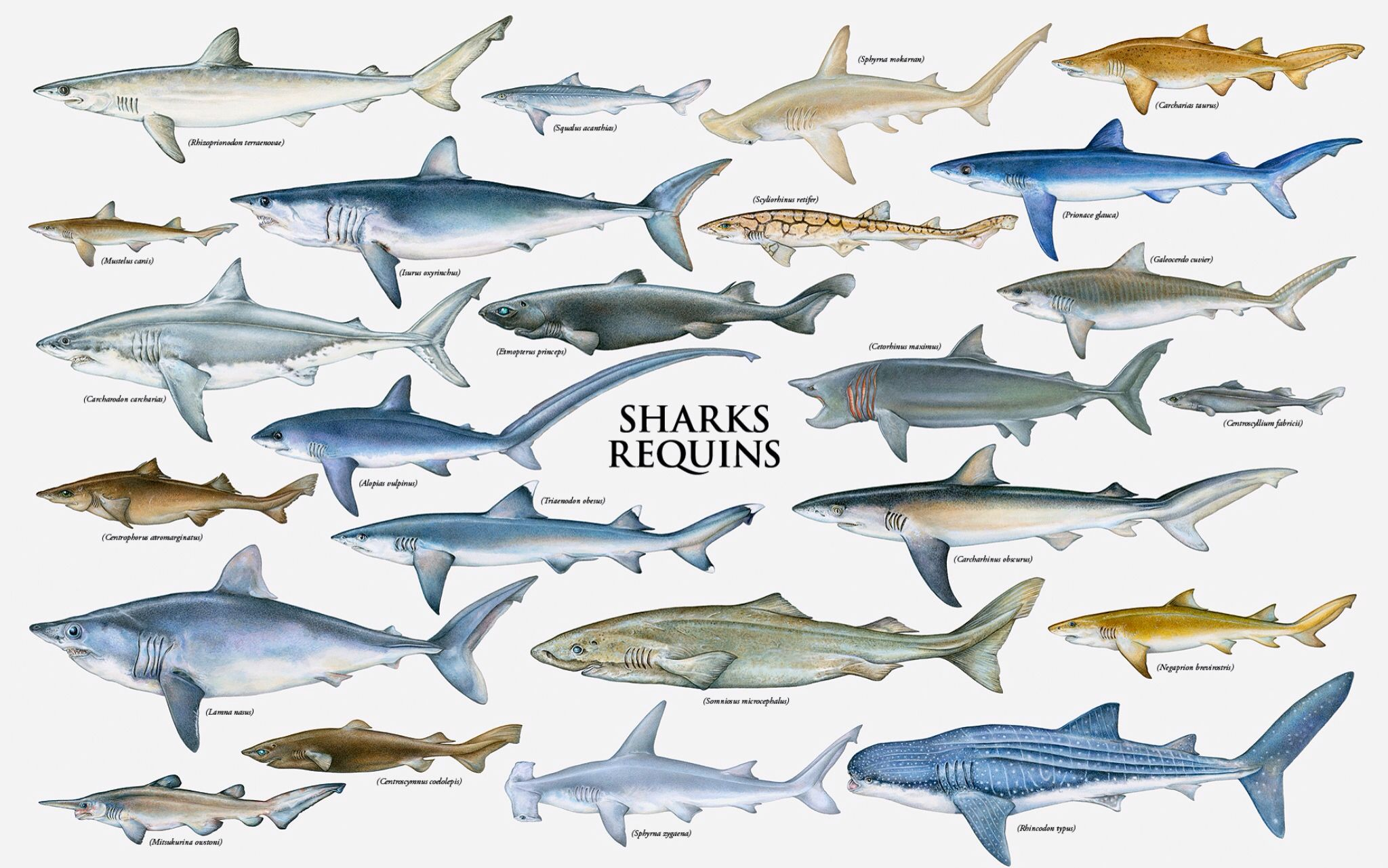 Diagram Of Types Of Sharks - Information Of Wiring Diagram •