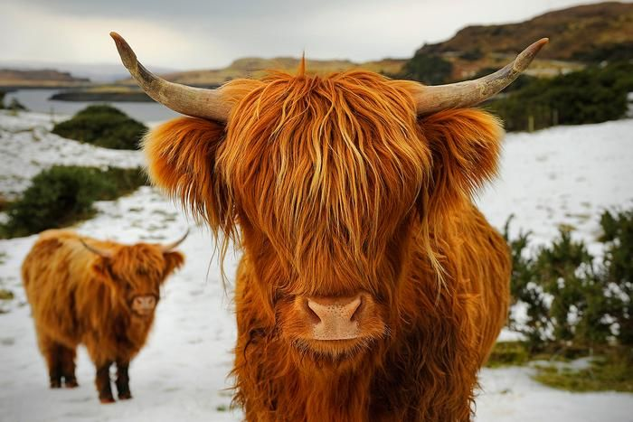 "Photo by Patrick Kelley - ""Scottish Kyloe Highland Cattle"" While hiking in scotland, we encountered an ancient breed of highland cattle known as ""kyloe."" They are stout and have adapted to grazing on plants that many other cattle avoid. Their long shaggy hair protects them from the cold winters and rainy weather."