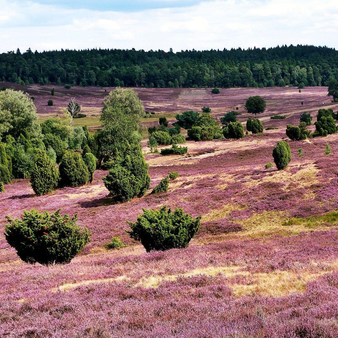 Ein Wahrer Schatz Der Natur Bei Uns In Niedersachsen Die Heide Hat Ihren Hochsten Bluten Stand Erreicht Luneburgerheide In 2020 Country Roads Outdoor Farmland