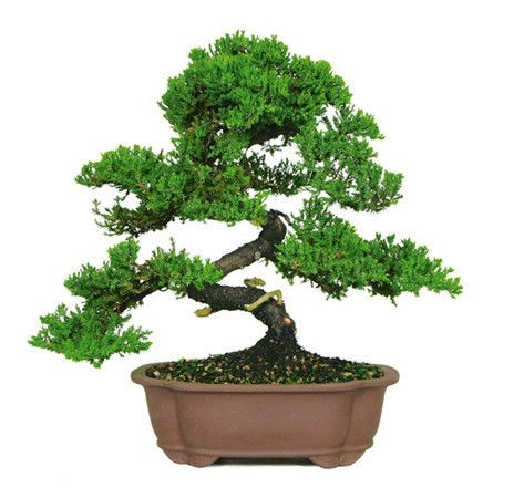 The Green Mound Juniper Bonsai Tree from Nursery Tree ...