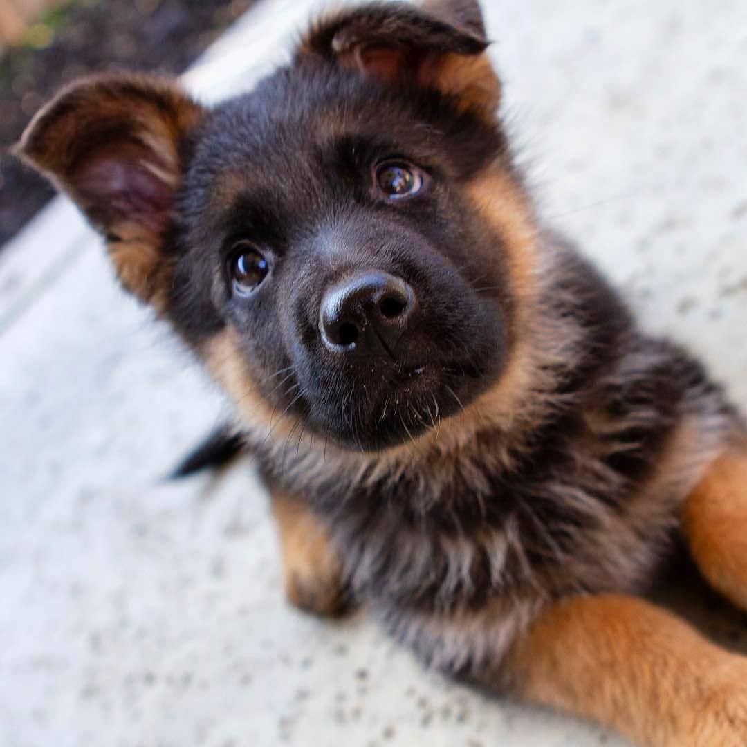 German Shepherd World On Instagram Tap The Link In Our Bio