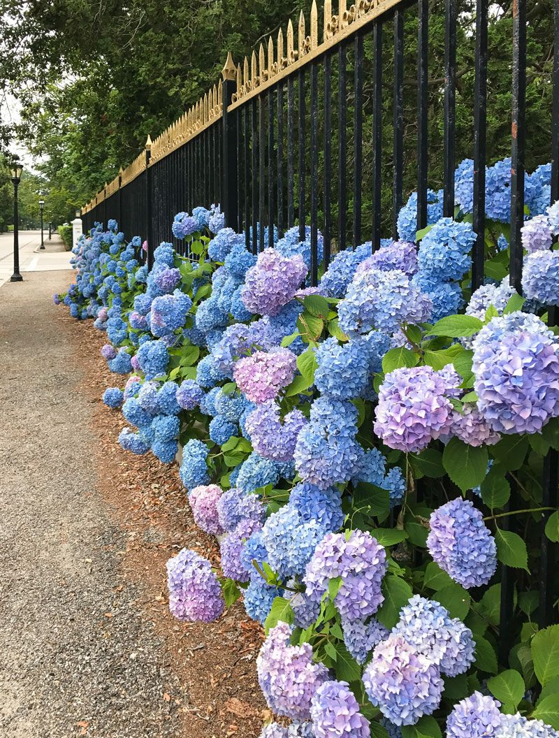 Hydrangeas In The Newport Landscape In 2020 Summer Hydrangeas Beautiful Hydrangeas Hydrangea
