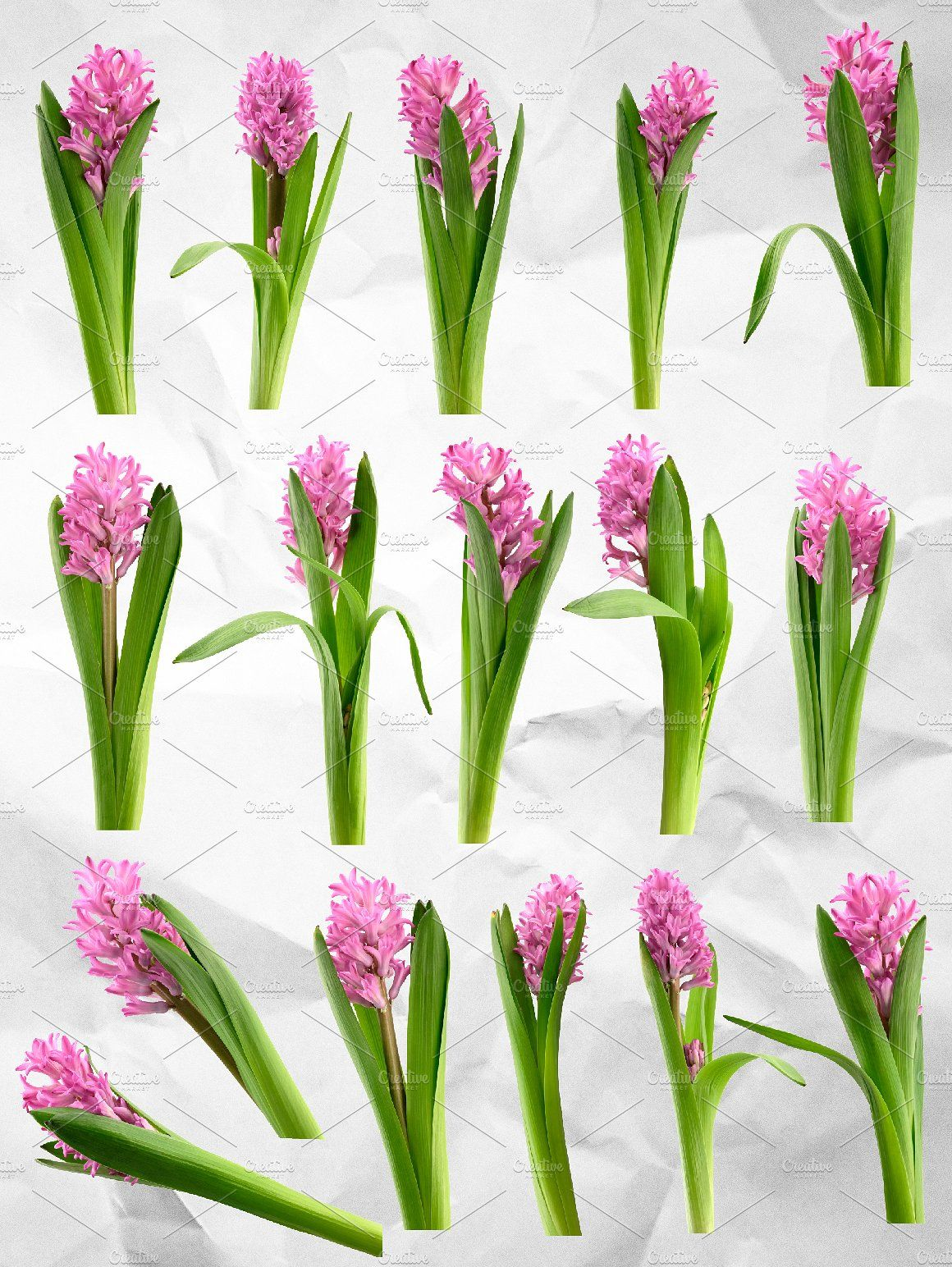 Hyacinth Flower Clipart Realistic Floral Clipart Pink Hyacinth