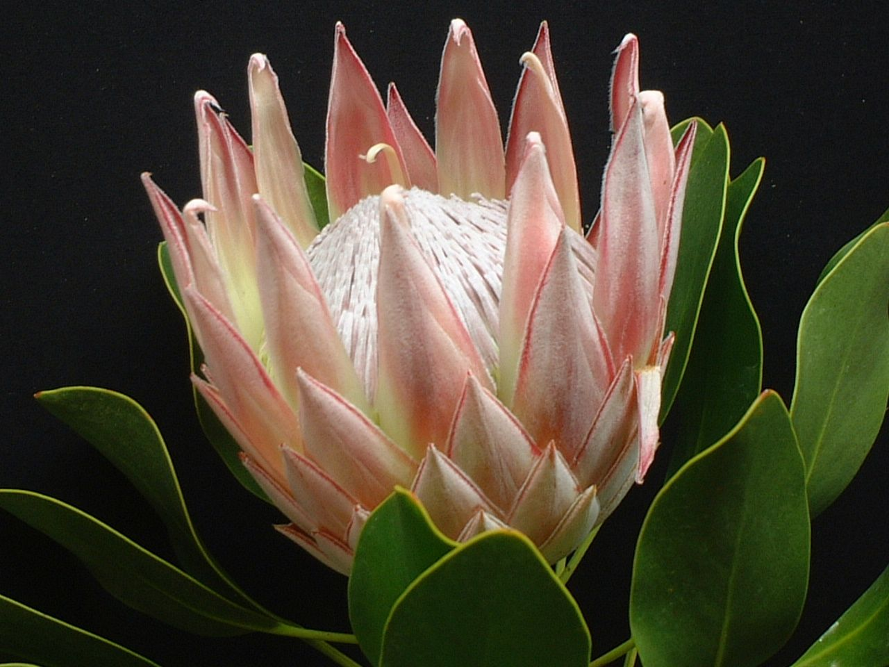 5 Flowers Beginning With K And Meanings Protea Flower Azalea Flower Flowers