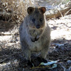 Quokka Facts, Diet, Habitat & Pictures on Animalia.bio