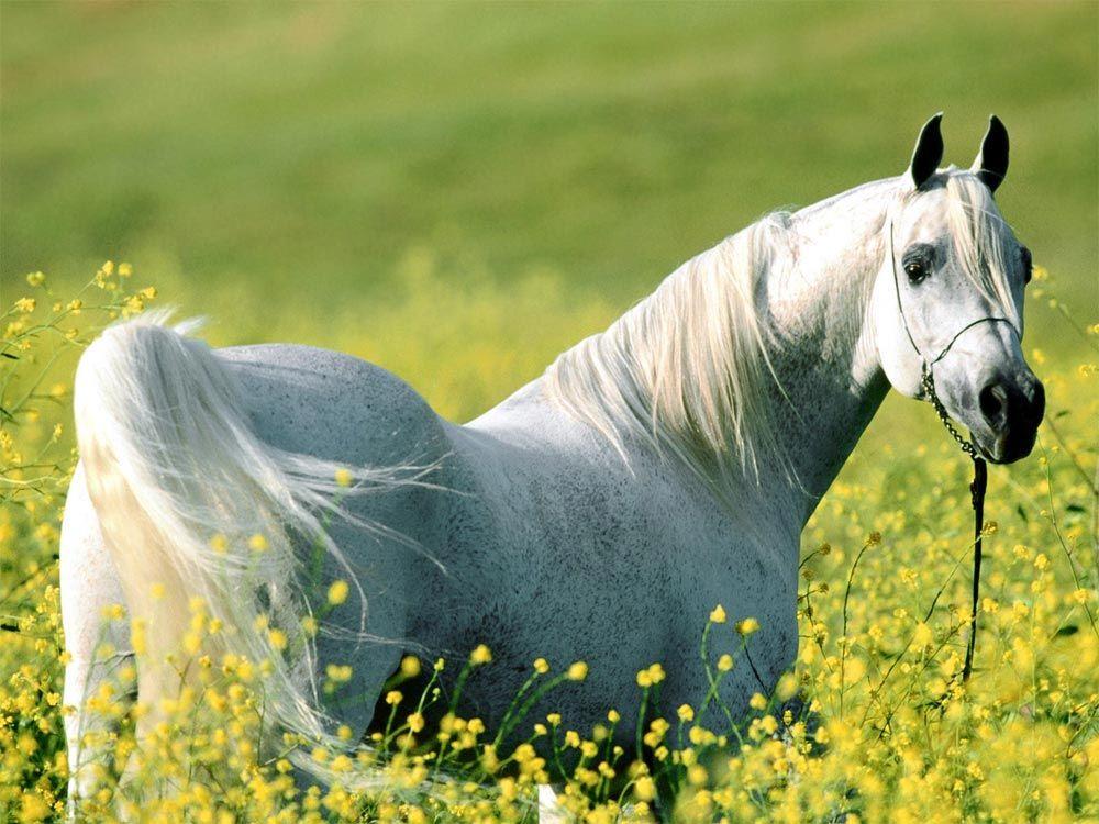 Cavalos Danish Warmblood