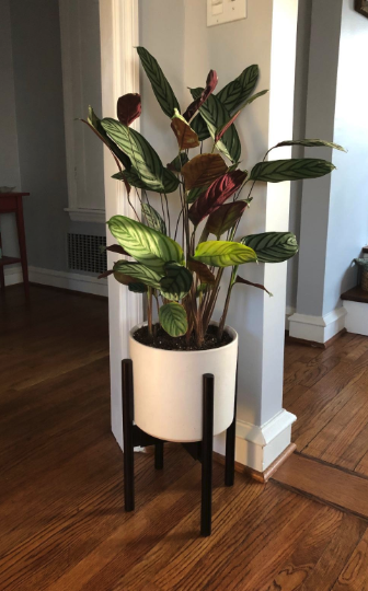 Calathea House Plant Indoor Gardening Ideas Mid Century Plant Stand Plant Stand Indoor Living Room Plants Plant Stand
