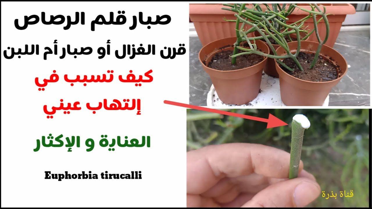أسهل نبات عصاري صبار أم اللبن أو صبار قلم الرصاص كيف تسبب في إلتهاب عيني مع شرح لطريقة الإكثار Https Youtu Be Obfntxmt1pw Euphorbia Plants