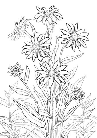 black eyed susan coloring page free printable coloring pages rh pinterest com