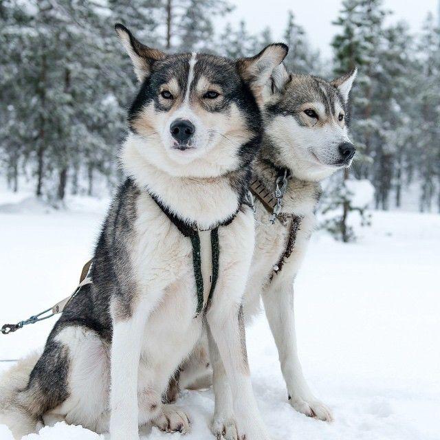 «Dogsledding is another popular winter sport in @exploreinari! Can't beat a beautiful pair of huskies! #exploreinari»