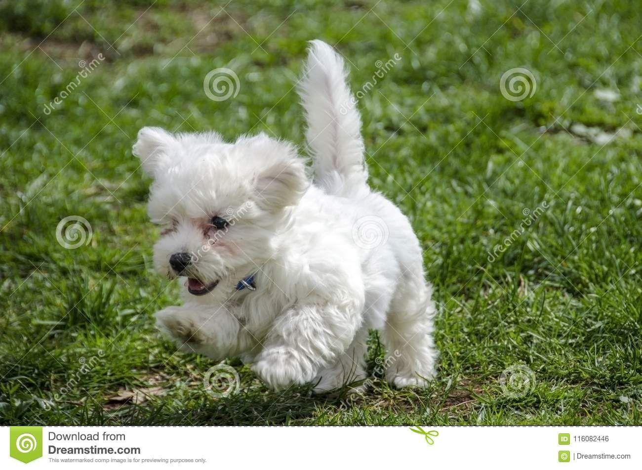 Cute Maltese Puppy Running Stock Photo Image Of Maltese