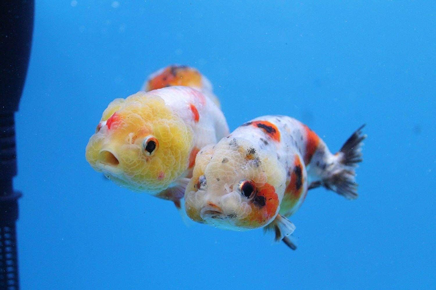 Assorted 4 Calico Ranchu Goldfish For Sale Free Shipping Goldfish For Sale Goldfish Goldfish Species