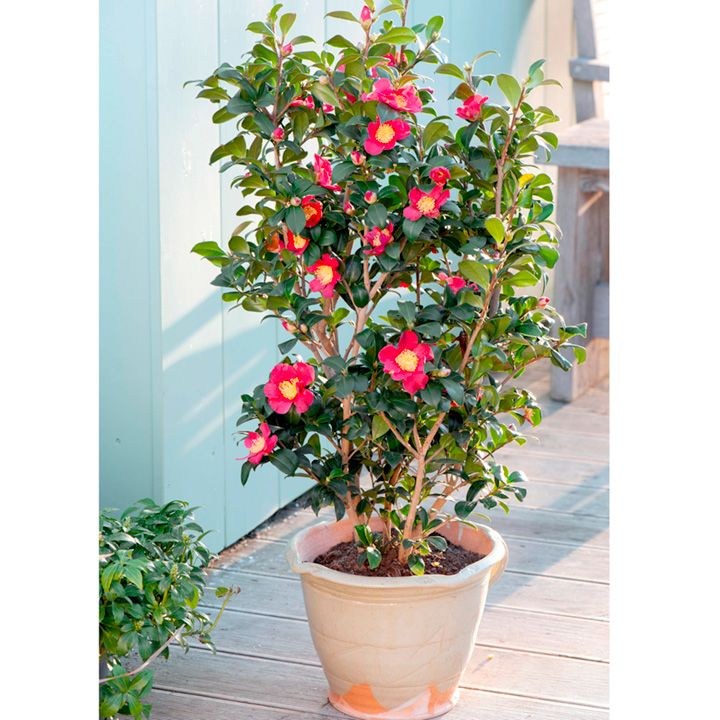 camellia yuletide evergreen shrub flowers with yellow centers in winter in pot or