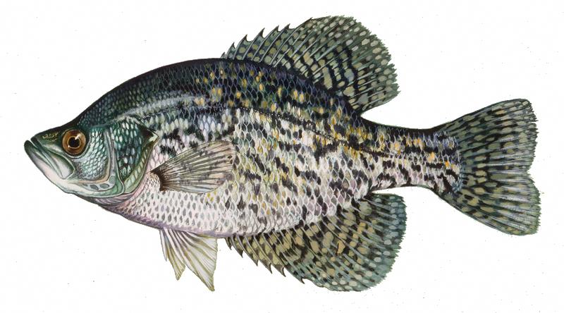 Awesome Learn Fishing Learnfishing Crappie Fishing Freshwater Fish Fish