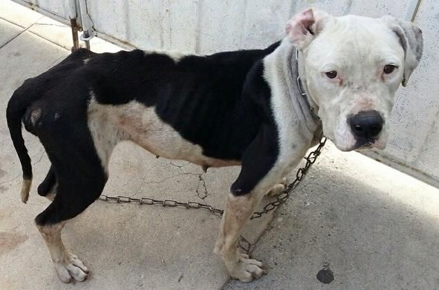 Rescued 911 Emaciated Dog On A Chain S Los Angeles This Dog Needs A Foster By Friday 11 22 He Will Not Survive In The Shelter Animals Human Species Dogs