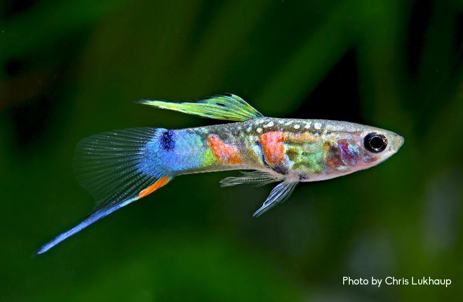 Lower sword tail endler hybrid poecilia pinterest for Endler guppy