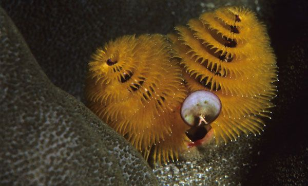 A Whole New Christmas Tree Worm Is The Common Name For A Marine Worm That Lives On Tropical Coral Reefs Around The World What Is Christmas Worms Xmas Tree
