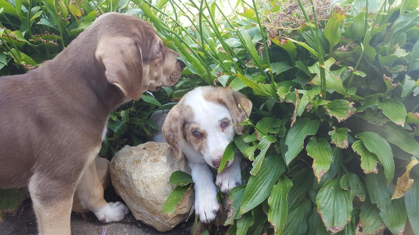 Ridgeback puppies for sale qld