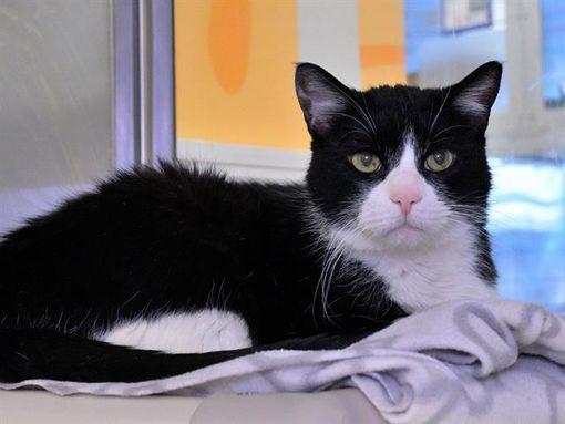 Austin Tx Domestic Shorthair Meet Kylo A Pet For Adoption In 2020 Pet Adoption Pets Adoption