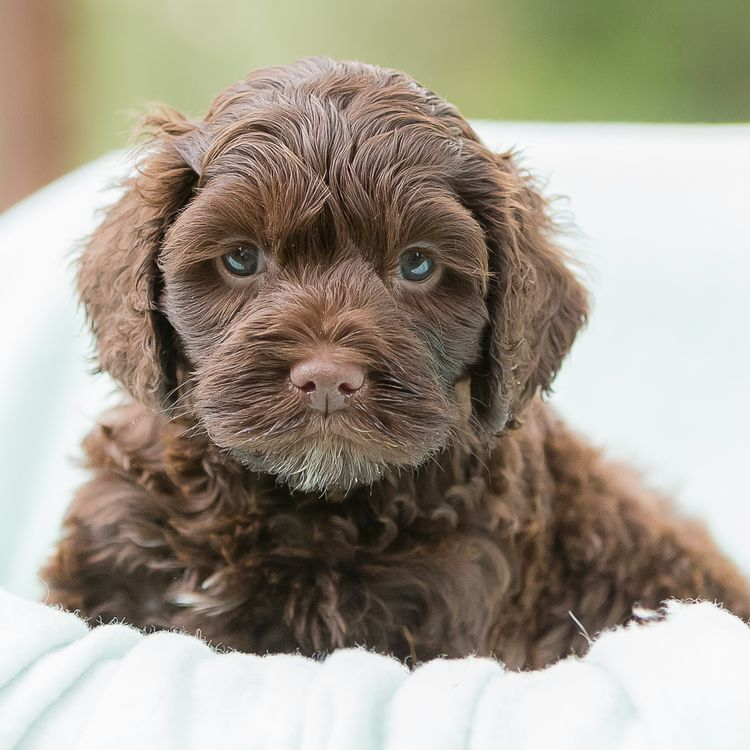 Brown Labradoodle Puppy Names References