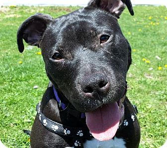 Guri Pittsburgh Pa Pit Bull Terrier Meet Guri A Dog For