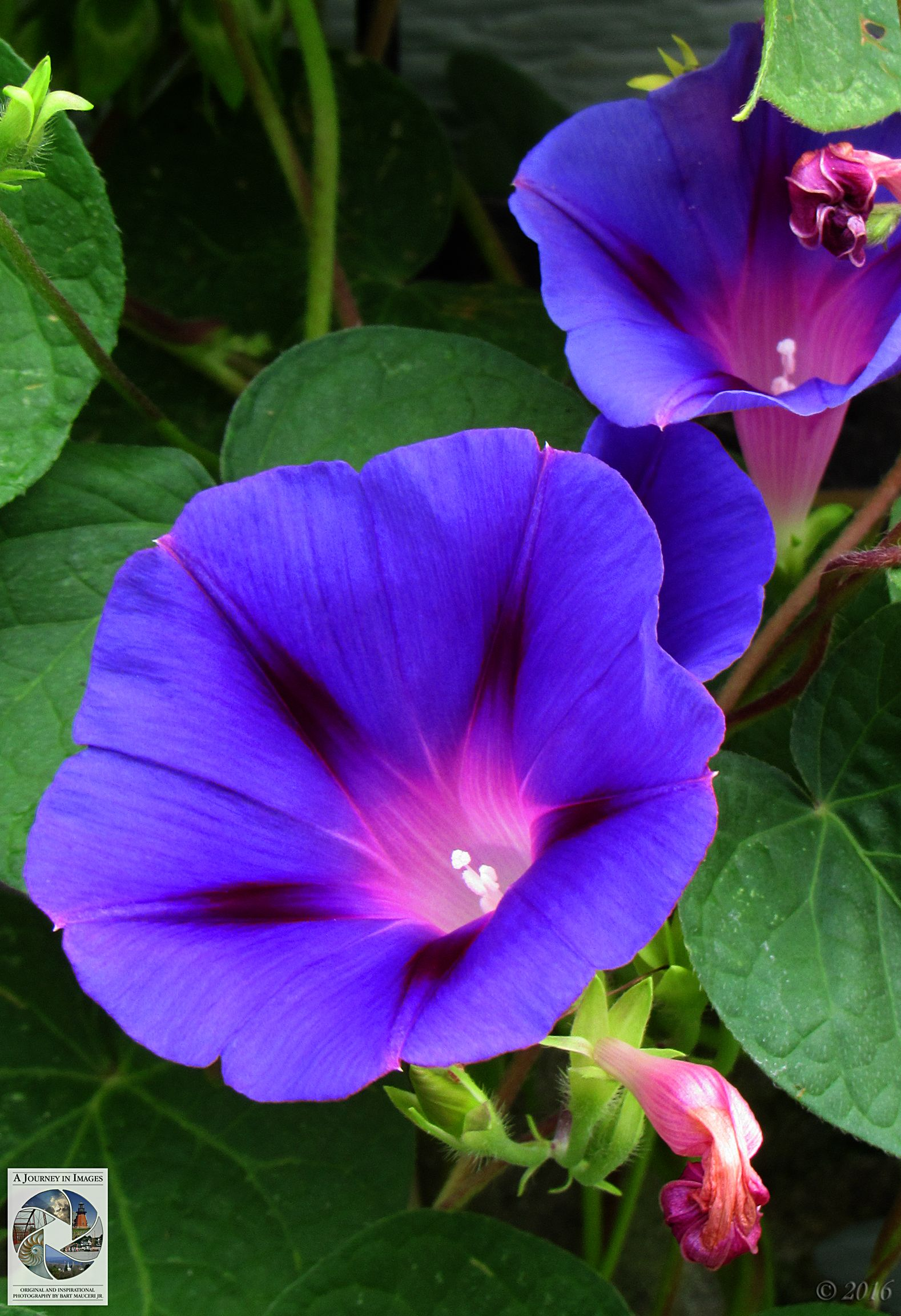 Morning Glories Ajourneyinimages Beinspired Photography Morning Glory Photography Flowers