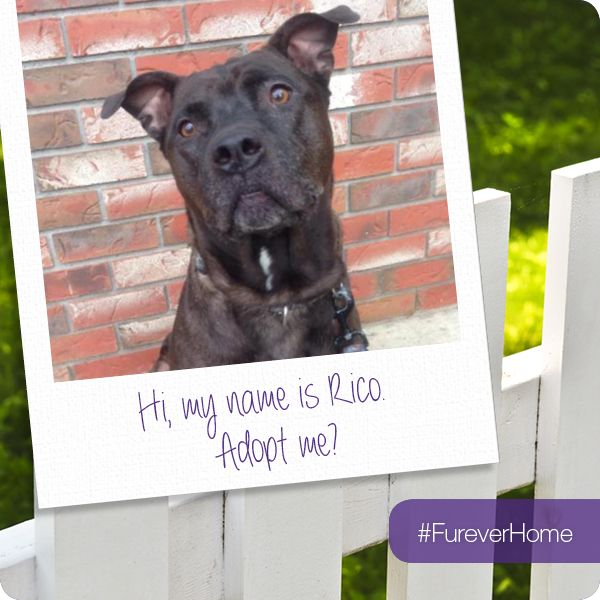 And Here Is Rico Our Fureverhome Friday Star In Yyj This Guy Loves A Belly Rub To Find Out How To Adopt Hi Pitbull Terrier Bull Terrier Dog Pets