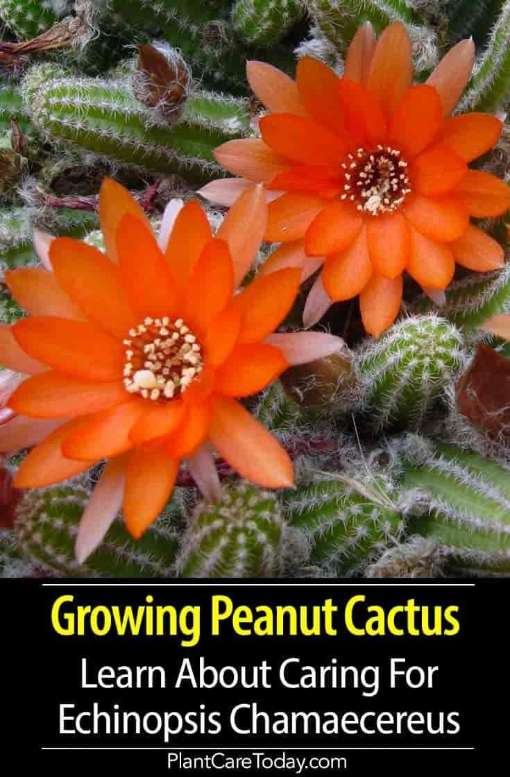 Photo of Peanut Cactus Care: All About Growing Echinopsis Chamaecereus