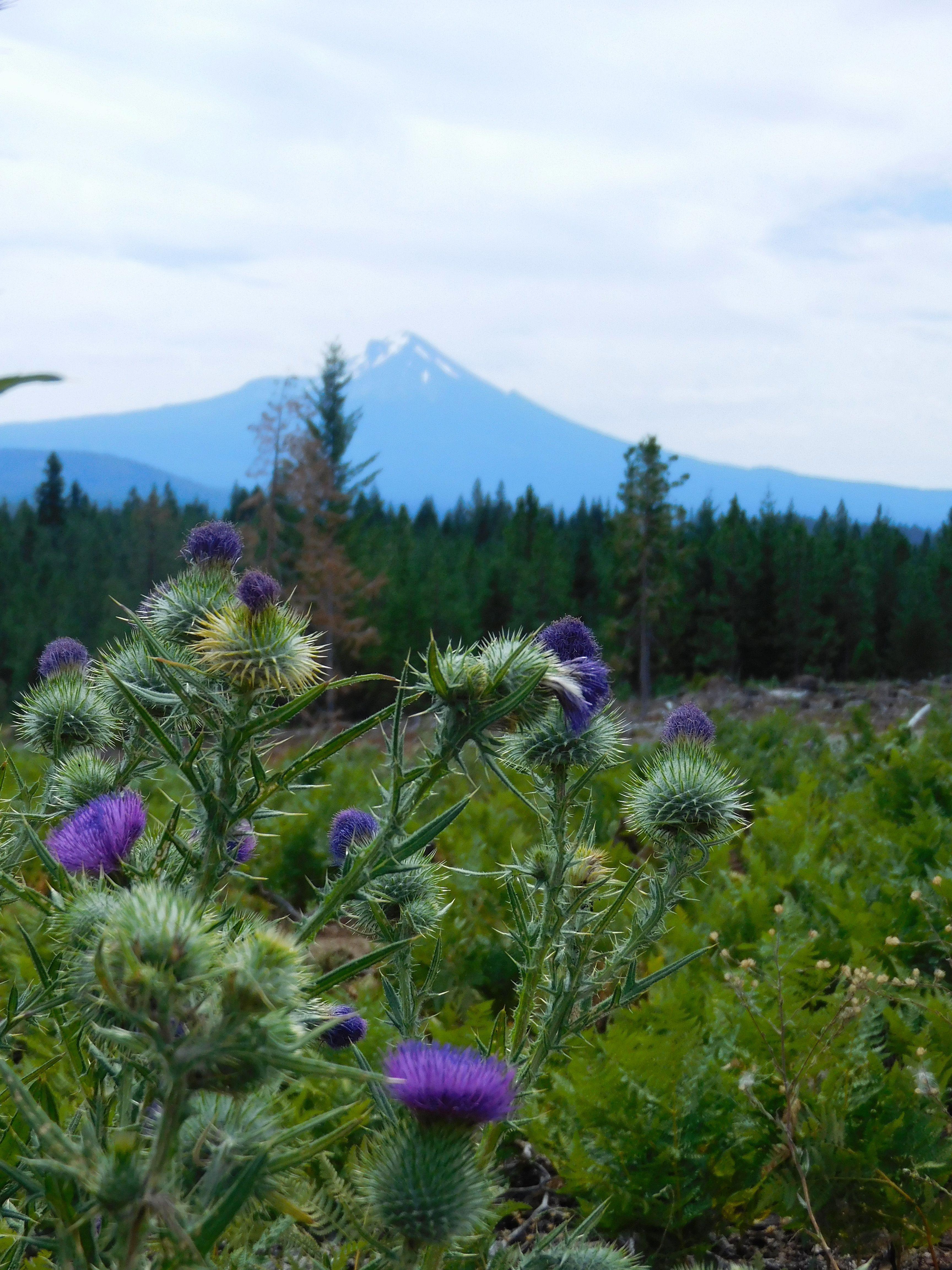 Oregon Thistle view towards Mt. McLoughlin Forest