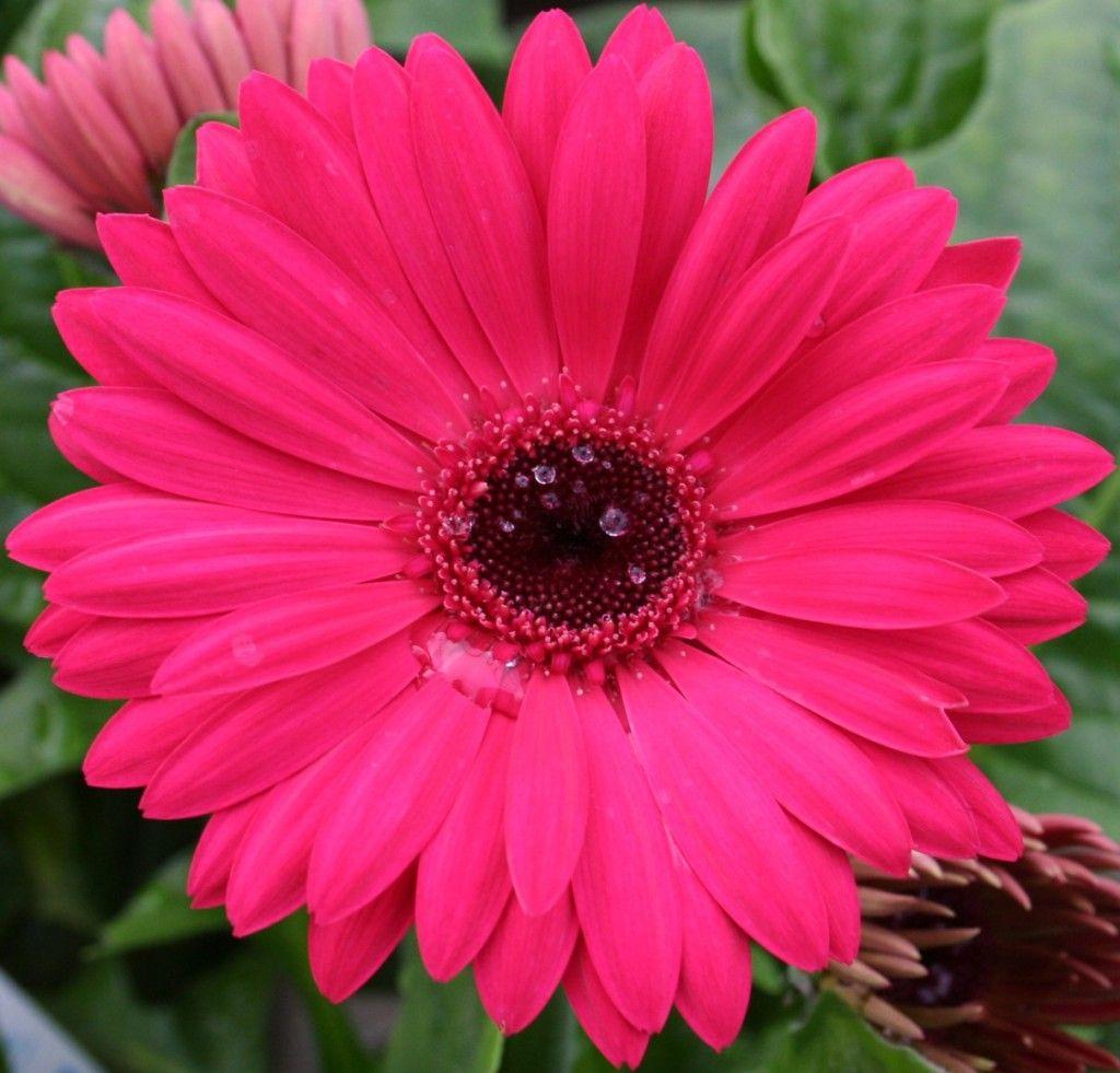 Daisy Flower Daisy Flowers Wallpaper Pink Daisy Flowers