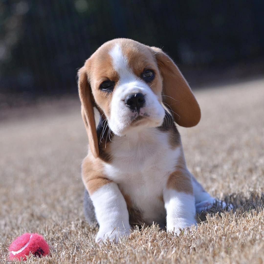 Beagle Puppy Cutest Ever Beagles Beagle Puppy Cutest Puppy