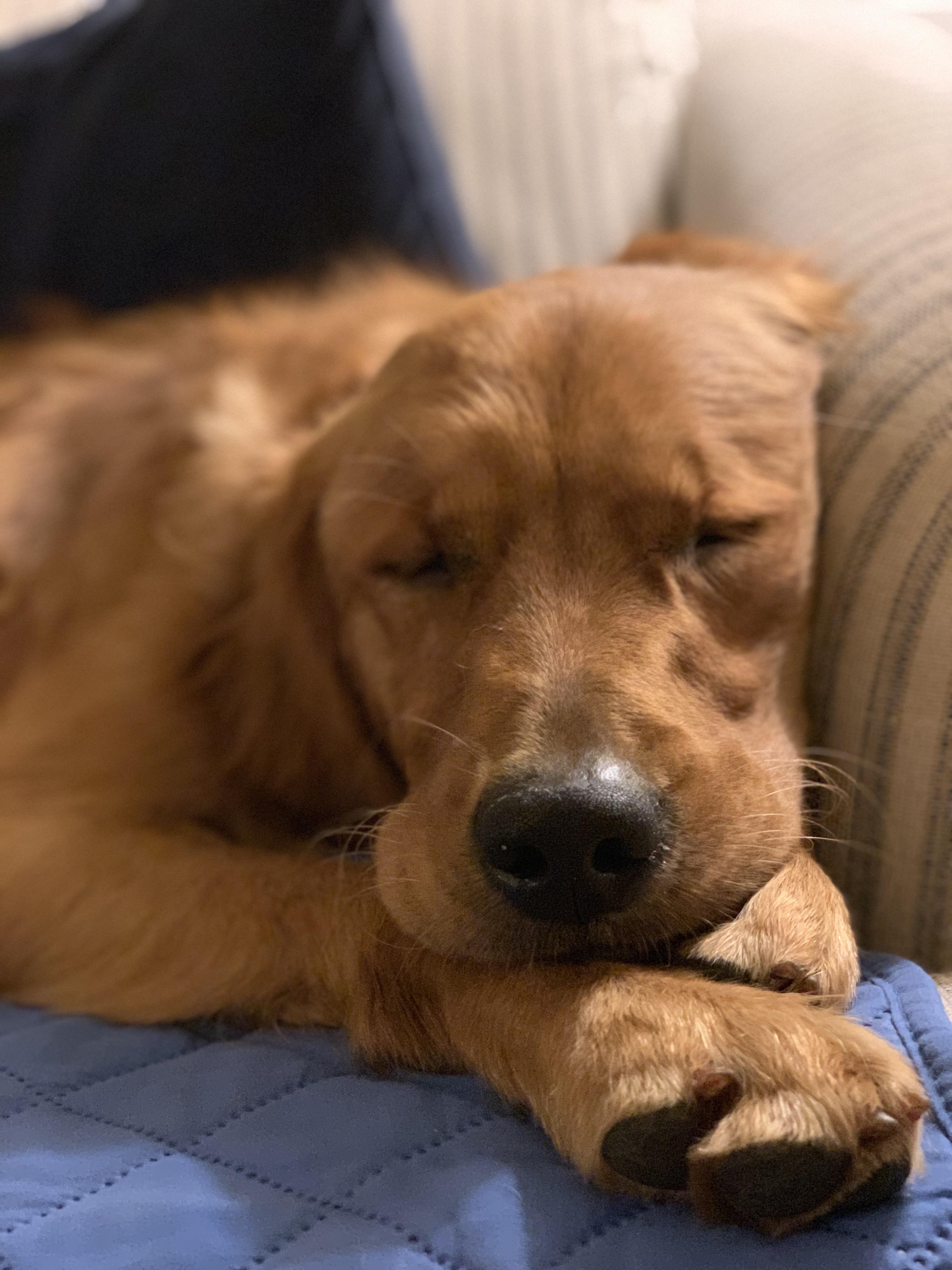 47 Adorable Golden Retriever Mix Breeds Dogs Golden Retriever Puppies Golden Retriever