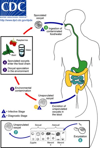 The Life Cycle Of Cyclospora Image By The Cdc Ciclos De Vida Ciencias De La Naturaleza Ingesta De Alimentos