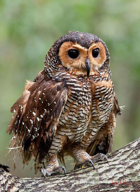 The Spotted Wood Owl Strix Seloputo Eulenbilder Eule Eulen Bilder