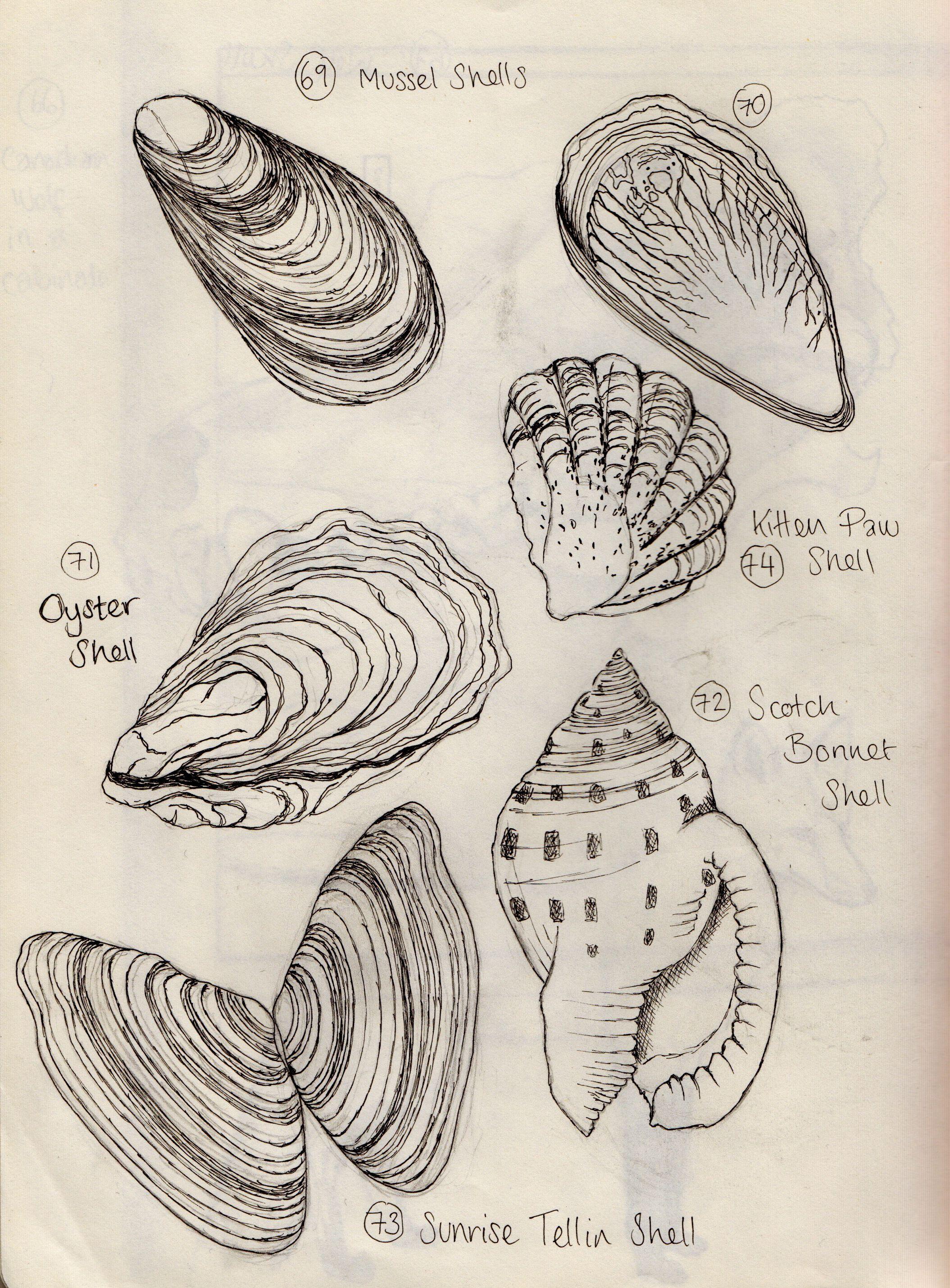 Shells Observational Sketchbook Drawings