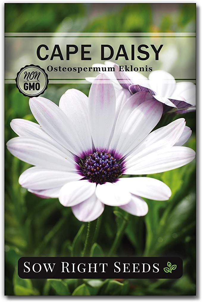 Sow Right Seeds Cape Daisy Seeds - Full Instructions for Planting, Beautiful to Plant in Your Flower Garden; Non-GMO Heirloom Seeds; Wonderful Gardening Gifts (1)#beautiful #cape #daisy #flower #full #garden #gardening #gifts #heirloom #instructions #nongmo #plant #planting #seeds #sow #wonderful
