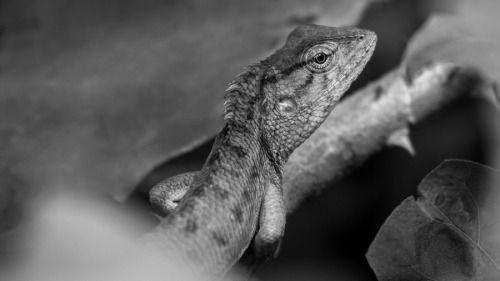 superbnature:  Indian Garden Lizard by debduttobanerjee