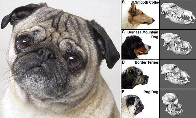 Scientists Pinpoint The Mutation That Causes Pugs To Have Flat