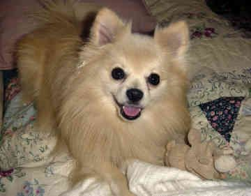 Chihuahua Pomeranian Mix That Face Looks Like Bella S