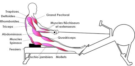 rameur muscle fessier