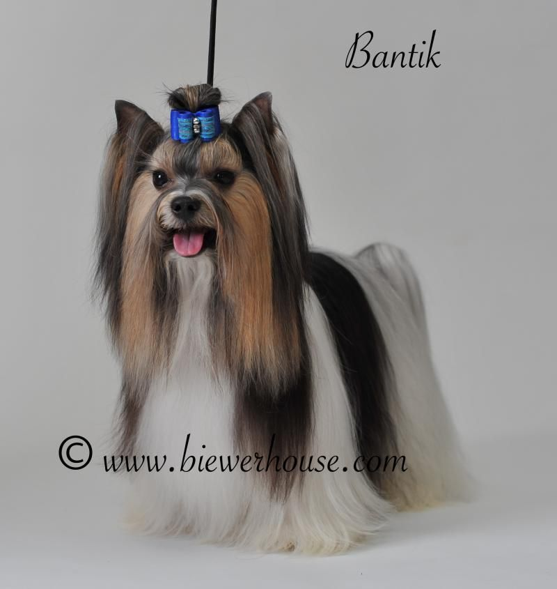 Biewerhouse Com Biewer Yorkshire Terriers Of Highest Quality