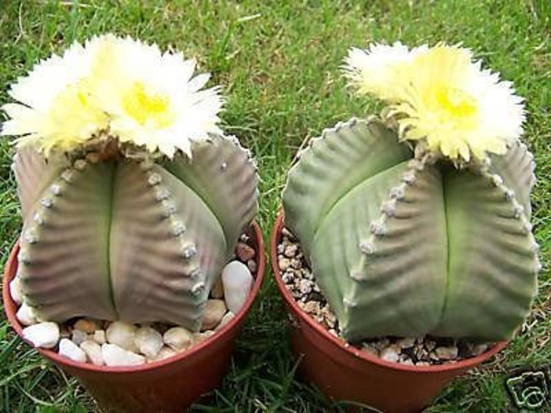 Astrophytum myriostigma KIKO nudum rare japan hybrid cactus cacti seed 100 SEEDS