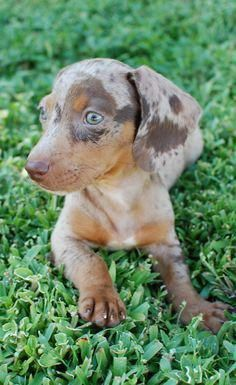 Discover The Curious Daschund Pups Daschundgirl Daschund Corner