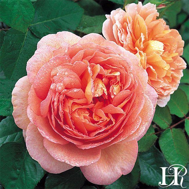 Abraham Darby Rose - David Austin - Very Fragrant