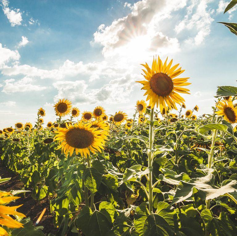 Want To Help Save The Bees Start Planting Sunflowers In Your Yard Sunflower Field Near Me Planting Sunflowers Sunflower Fields