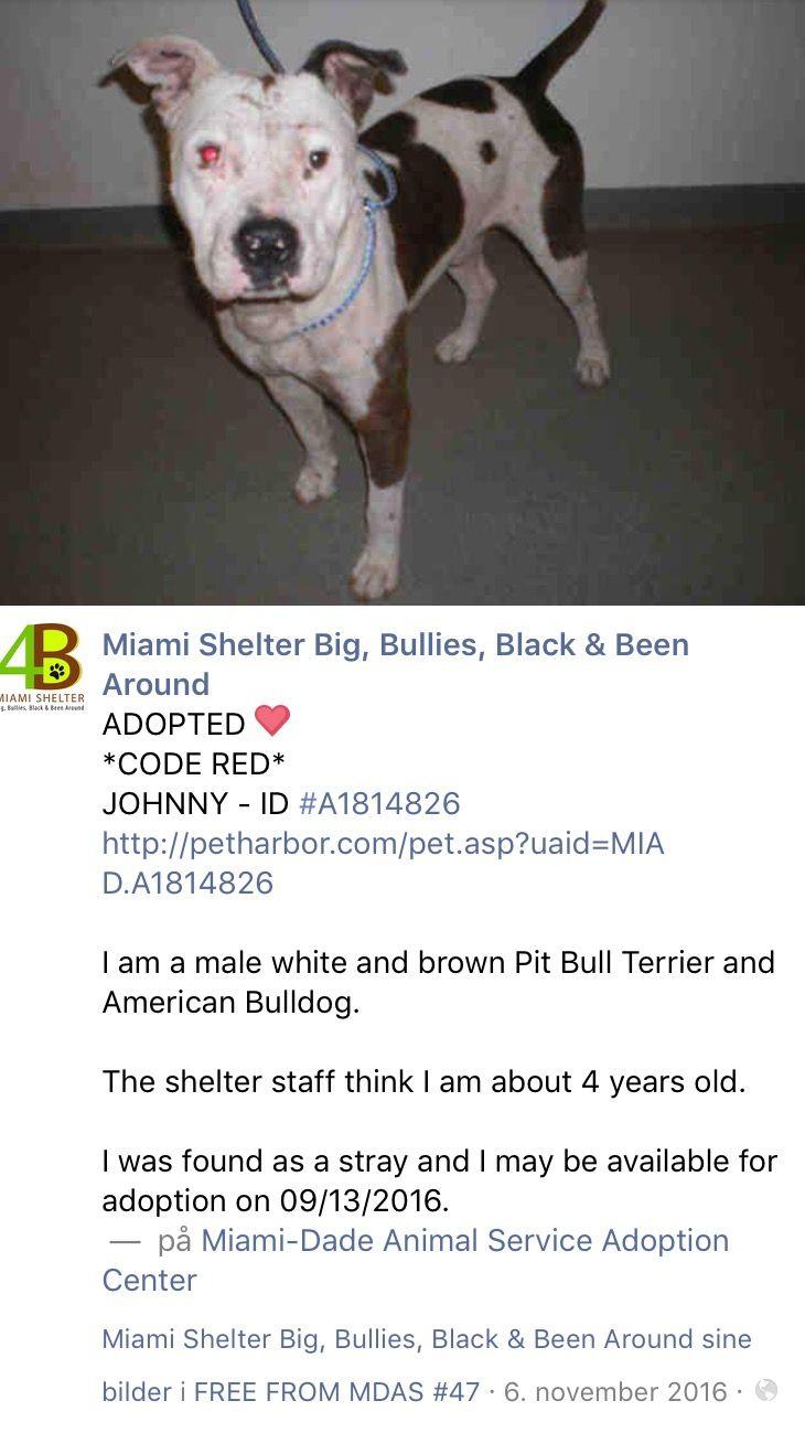 12/20/16 JOHNNY ADOPTED❤️❤️❤️ /ij  https://m.facebook.com/MiamiShelterBigBulliesBlackBeenArounddogs/photos/pb.470632062965156.-2207520000.1478489620./1499000533461632/?type=3