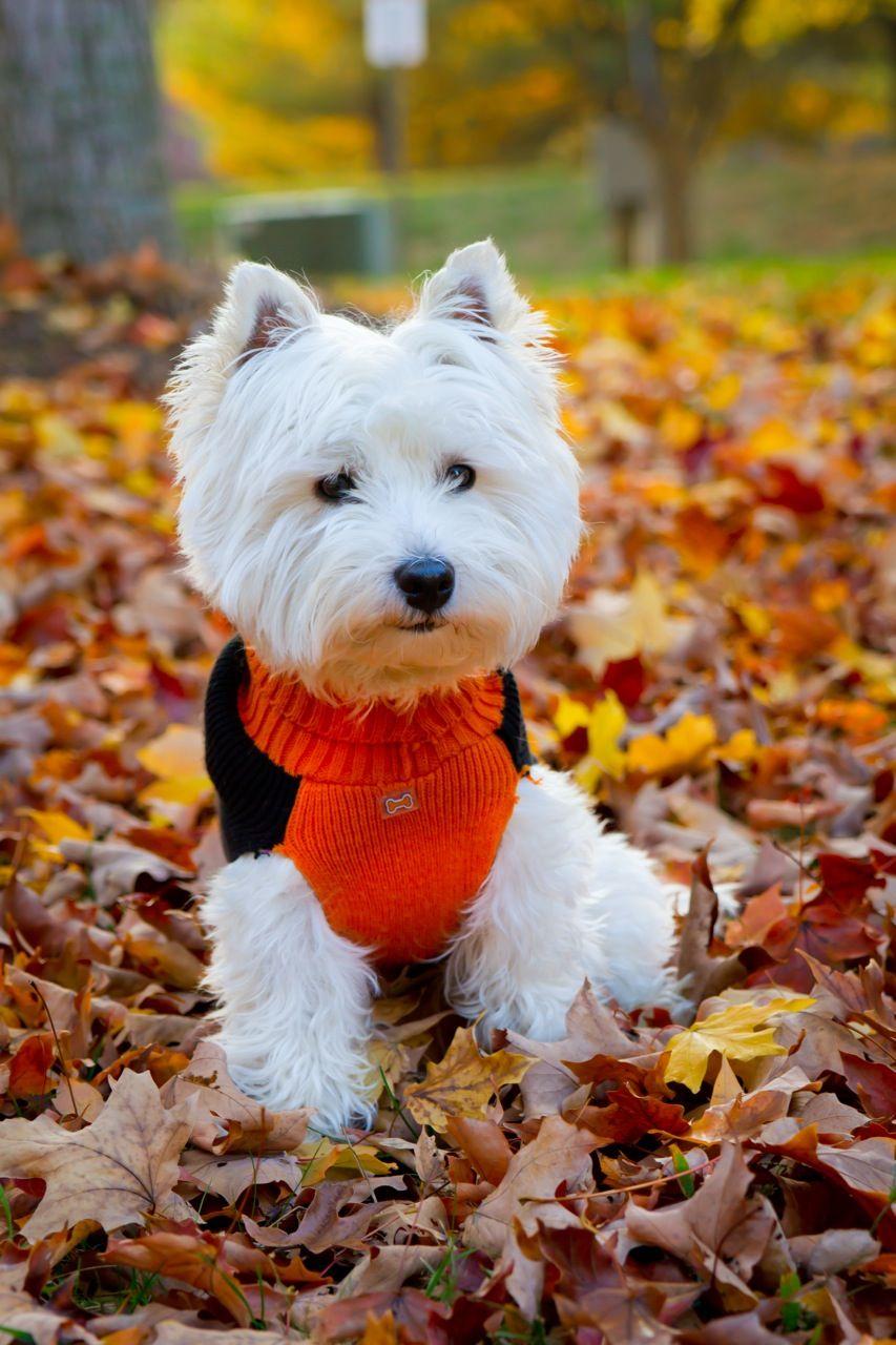 Westie puppy in a Halloween sweater!! Westie puppies