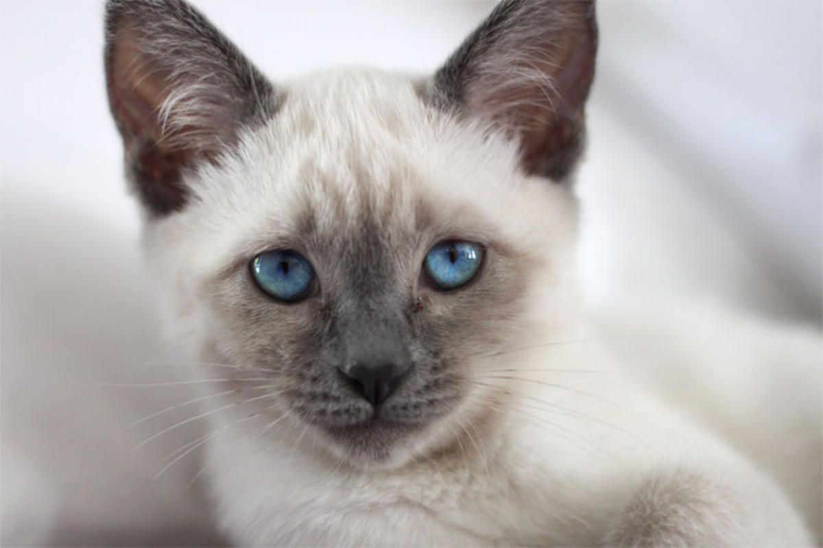Pics For > Blue Seal Point Cat Siamese kittens, Cats