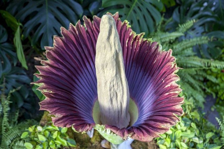 Stinky Corpse Flower In Full Bloom At Michigan Garden My San Antonio Corpse Flower Michigan Gardening Plants